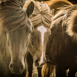 Icelandic horse by Jorge Igual - Animals Horses ( http://fotografiadigital.blogs.upv.es, sepia, tone, family, horse, hair, animal )