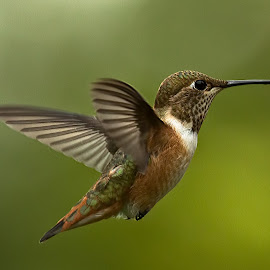 Hummingbird by Sheldon Bilsker - Animals Birds ( bird, nature, park, hummingbird, animal )