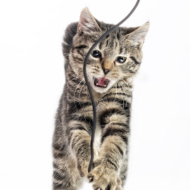 Killer by Jukka Pinonummi - Animals - Cats Playing ( playing, kitten, cat, rope, background, white, attack, small )