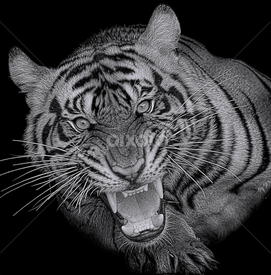 The King of The Jungle by Ubayoedin As Syam - Black & White Animals