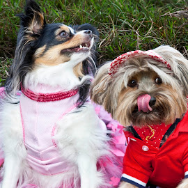 Very Good Friends by Sandy Friedkin - Animals - Dogs Portraits ( costumes, dogs, yorkie, pappilion )