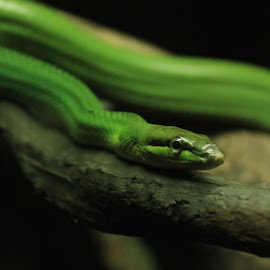 Red Tailed Racer Snake by Michael Loi - Novices Only Wildlife ( snake, red, zoo, racer, sg, tail )