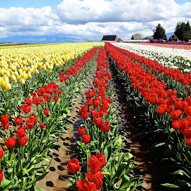 Tulip Field by Gabriel Gutierrez - Landscapes Prairies, Meadows & Fields ( skagit, nature, colorful, tuilps, travel, spring, rows )