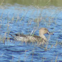 Northern Pintail Duck (female)