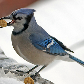 Boxing Day Bluejay by Gary Amendola - Animals Birds