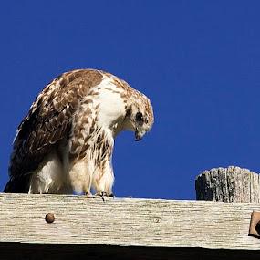 American Red Tail Hawk by Jim Westcott - Animals Birds ( birds of prey, wildlife,  )