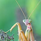 Chinese Preying Mantis