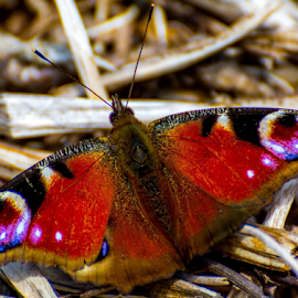 Basking Butterfly by Darren Allison - Animals Insects & Spiders (  )