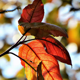 Autumn Colors by Chandra Whitfield - Nature Up Close Leaves & Grasses ( orange, red, nature, tree, autumn, colors, fall, yellow, leaves, photography )