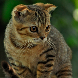 by Cacang Effendi - Animals - Cats Portraits ( cats, cattery, kitten, animals, chandra )