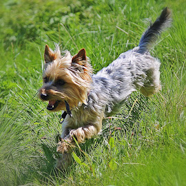 by Inger Lefstad - Animals - Dogs Running