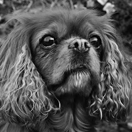 Amber by James Gilliver - Animals - Dogs Portraits ( black and white, pet, dog, king charles cavalier, portrait )