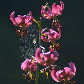 Untitled by Olsi Belishta - Flowers Flowers in the Wild ( spider, flower )