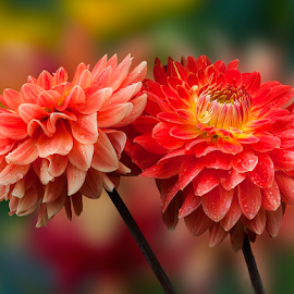 by Carl Sieswono Purwanto - Flowers Flower Gardens