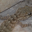 Common Wall Gecko, Salamanquesa