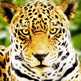 Mexican Jaguar by Joe Thomas - Animals Lions, Tigers & Big Cats ( big cat, jaguar, panthera onca, predator, cat )