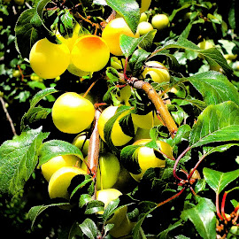 Mirabelle by Claudiu Petrisor - Nature Up Close Gardens & Produce ( tree, green leaf, fruits, mirabelle )