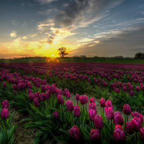Sun and flowers by Kim  Schou - Flowers Flower Gardens ( kim schou, hdr, purple, sunset, vesterborg, tulips )