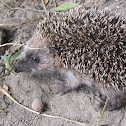 Erizo común (es), European Hedgehog (uk)