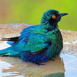 The Post Bath Look ! by Anthony Goldman - Animals Birds ( bird, water, wild leopard hills, starling, bath, africa, greater blue eared,  )