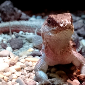 Hello by Mirna Abaffy - Animals Reptiles ( lizard, zoo, android, amphibians, animal, mobile )