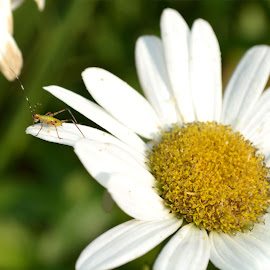 Daisy Bug by Carrie Cooper - Nature Up Close Other plants ( nature, bug, daisy, insect, flower )