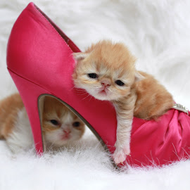 Princesses by Mélodie Lanoix - Animals - Cats Kittens ( orange, babies, two, cat, white, pink, kittens, hight hill, shoe, baby, young, animal )