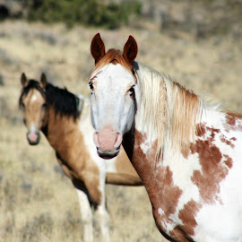 Pretty Pintos by Kathy Tellechea - Animals Horses ( mare, mountain, nature, steens horse, outdoors, pinto, paint, steens )