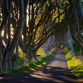 The Dark Hedges by Enda McAuley - Landscapes Forests ( ireland, armoy, trees, dark hedges, antrim,  )