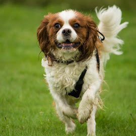 Harvey by Tracey Dolan - Animals - Dogs Running