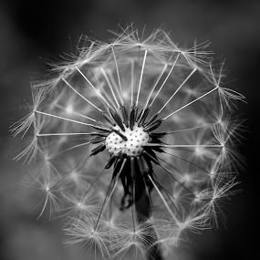 Dandelion by Daniel Gorman - Black & White Flowers & Plants ( plant, wind, seed, plants, dandelions, dandelion seed, spring, dandelion, summer, seeds, flowers, dandelion seeds, flower,  )