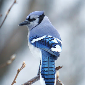 Blue Jay by Robert Daveant - Animals Birds ( bird, tree, blue, jay )