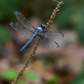 Dragonfly Dancing by Janet Lyle - Animals Insects & Spiders ( insects, dragofly )