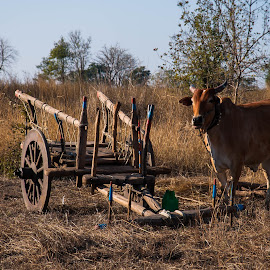 The Cart and the bull by Somabrata Pramanik - Transportation Other ( village, ox cart, bullock cart, cart, transportation, ox, bull )