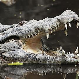 threaten by Ray Alexander - Animals Amphibians ( water, face, crocs, still, adult, reptile, dangerous, teeth, giant,  )