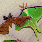 Luna and Polyphemus Moths