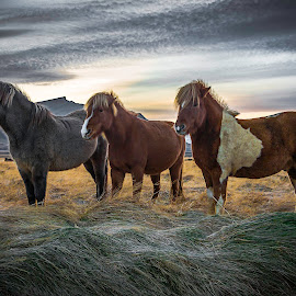 Icelandic Steeds by Paul Haines - Animals Horses (  )