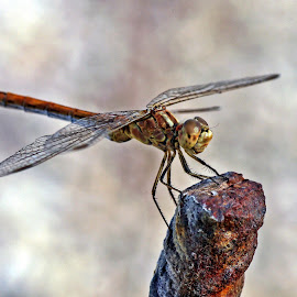 Dragonfly VI by Zoran Rudec - Animals Insects & Spiders ( dragonfly )