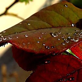 Pearls on Leaves by Umesh Halder - Nature Up Close Leaves & Grasses ( dew on leaf, macro, nature, leaf )