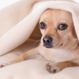 by Becky Kempf - Animals - Dogs Portraits ( blanket, hiding, dog )