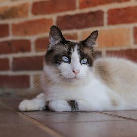 by Georgina Barrett - Animals - Cats Portraits (  )
