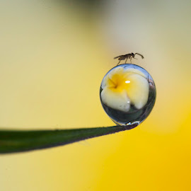 Dew with Insect by Sofyan Ian - Nature Up Close Natural Waterdrops ( macro, nature, nature up close, #beautiful )