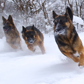 Look out!  by Kira Brita - Animals - Dogs Running