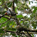 Chestnut-capped Laughingthrush