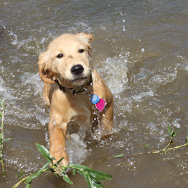 Water Dancing by Ellee Neilands - Animals - Dogs Puppies ( canine, water, pet, play, puppy, dog, cute, dance, golden retriever )