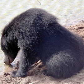 Sloth Bear by Jaliya Rasaputra - Animals Other Mammals