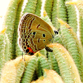Cycad blue by Yusop Sulaiman - Animals Insects & Spiders