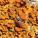 Zebra Spider on Elegant Sunburst Lichen