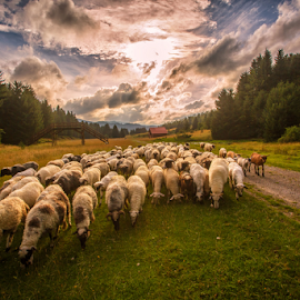 Sheep formation by Stanislav Horacek - Landscapes Prairies, Meadows & Fields