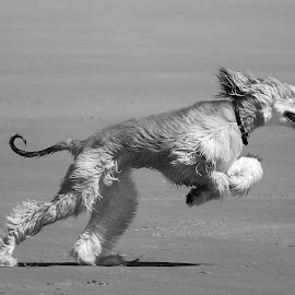 by Chris Patterson - Animals - Dogs Running